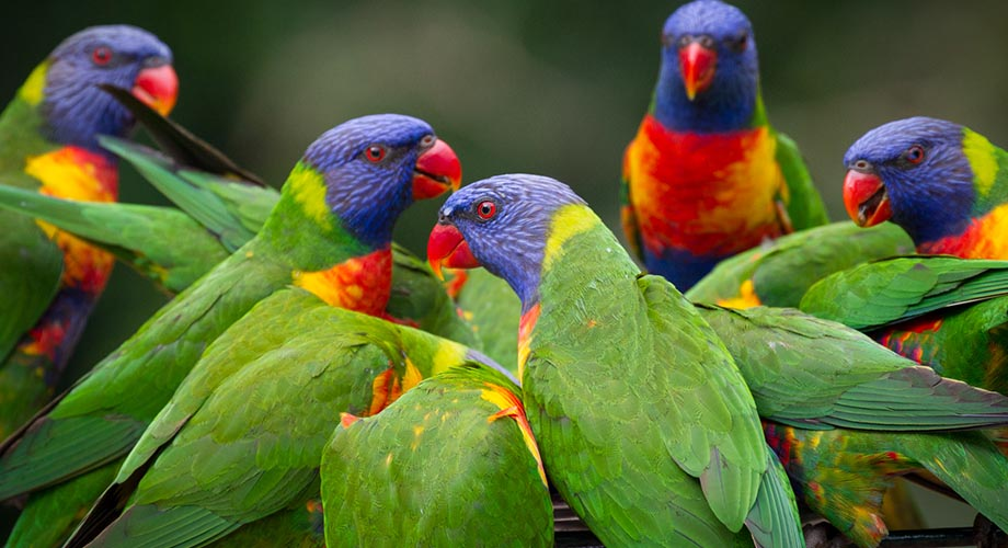 Currumbin_Willdife_Sanctuary_Lorikeets_920x500.jpg